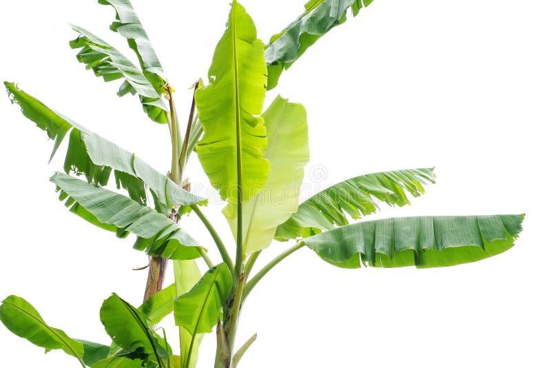 Banaanbomen op witte achtergrond worden geïsoleerd die stock foto's