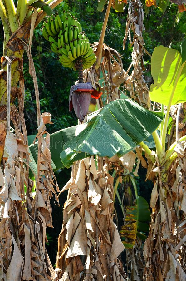 Banaanbomen in Vinales-vallei, Cuba stock foto