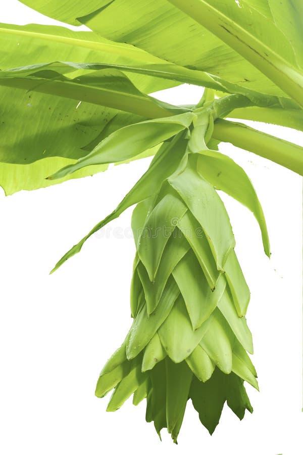 Banaanboom en banaanbloesem stock foto's
