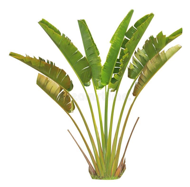 Banaanboom en blad stock fotografie