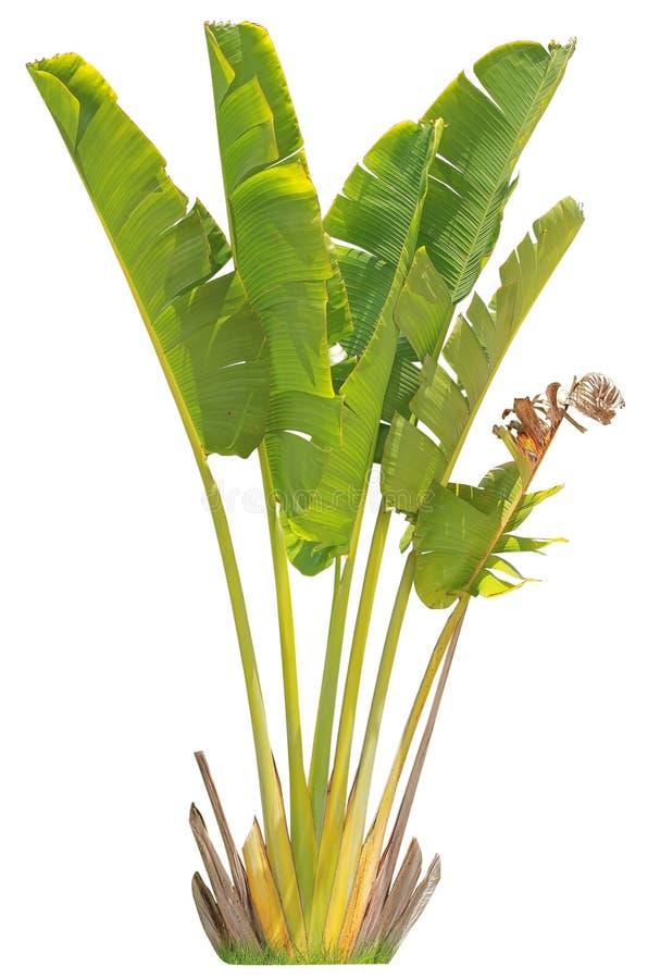 Banaanboom en blad stock foto