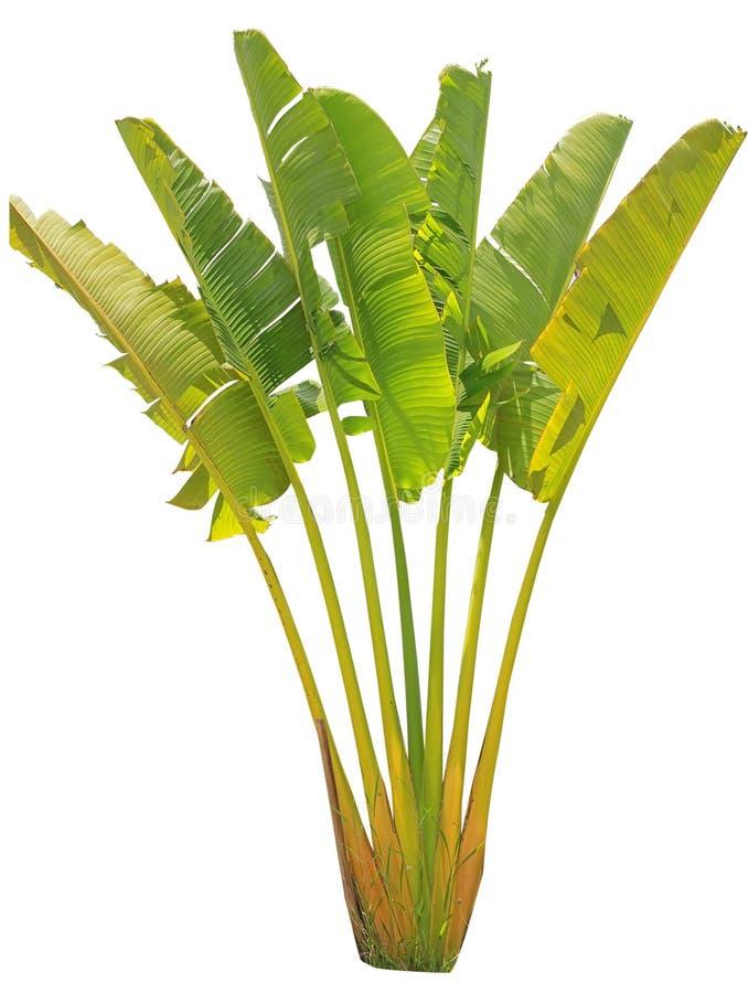 Banaanboom en blad royalty-vrije stock foto's