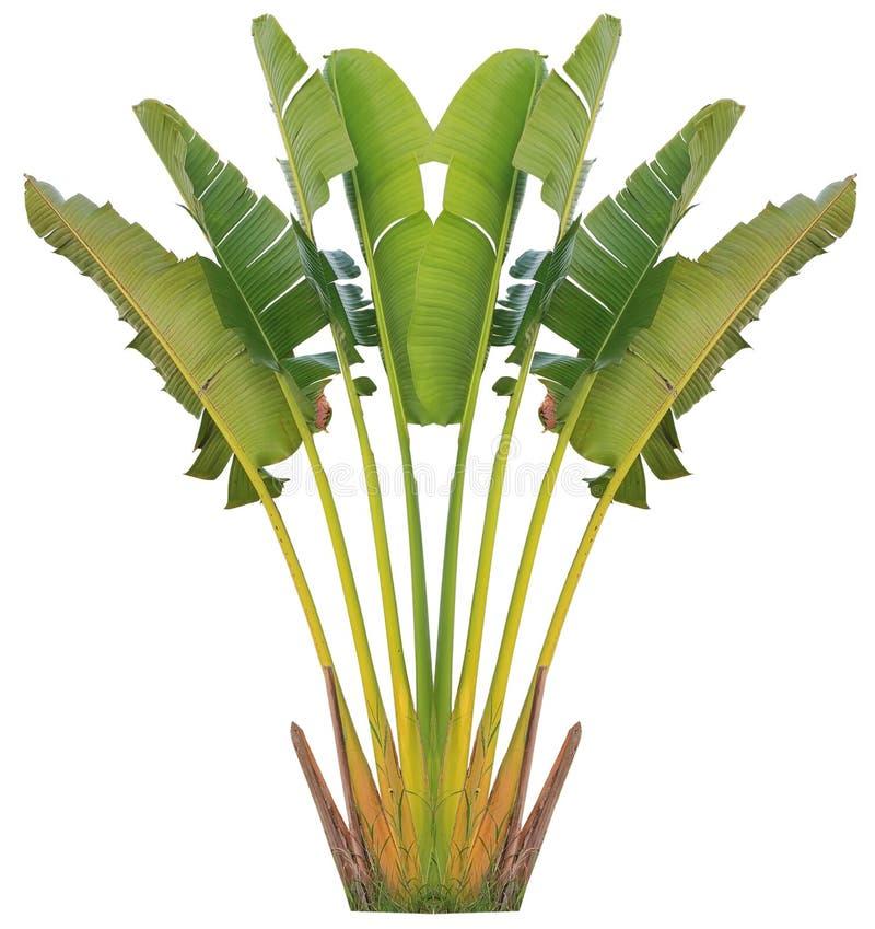 Banaanboom en blad stock afbeelding