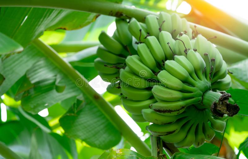 Banaanboom met bos van ruwe groene bananen en banaan groene bladeren Gecultiveerde banaan Kruidengeneeskunde voor behandelingsdia royalty-vrije stock afbeeldingen