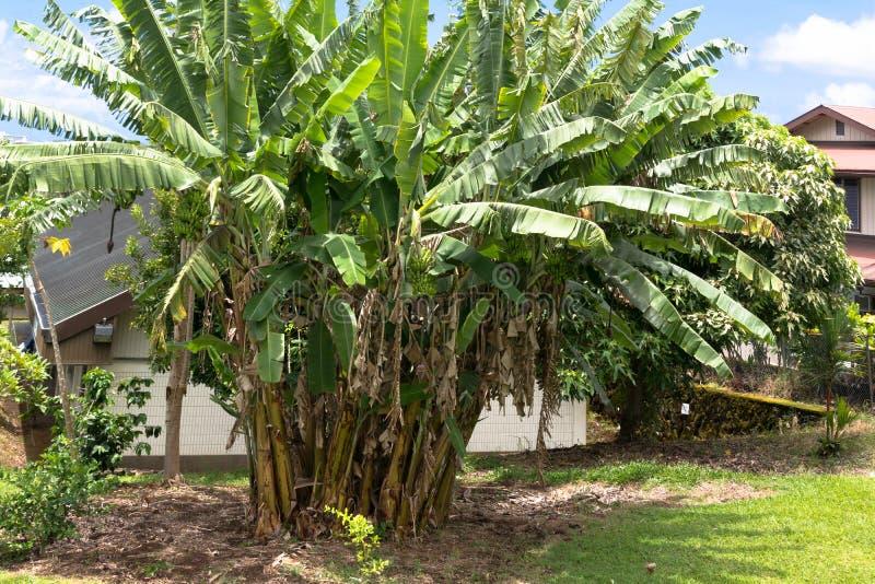 Banaaninstallaties in Groot Eiland, Hawaï stock afbeeldingen