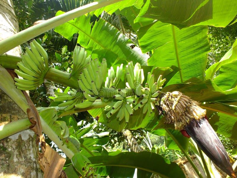 Banan bananowa owoc w roślinie obraz stock