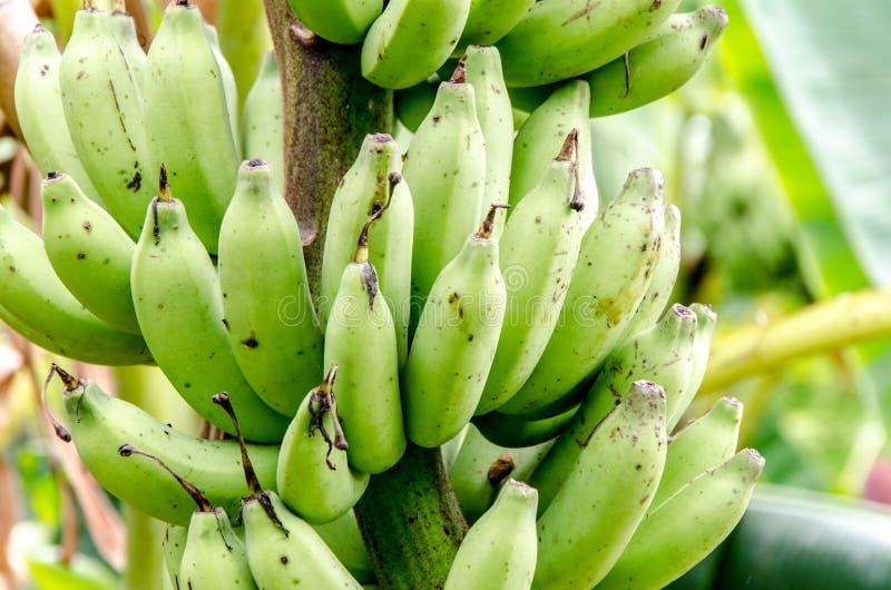 Banan i bananlantgård royaltyfri bild