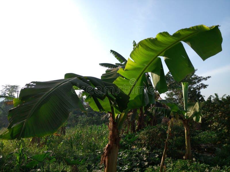 Banan Kampala, Uganda arkivbilder