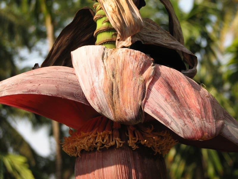 Banan podczas kwiecenia obrazy royalty free