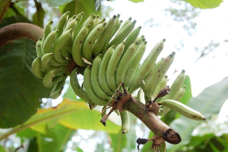 Banana. Brunch of banana tree at the farm royalty free stock image