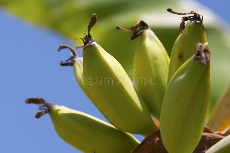 Banana. Tree royalty free stock image