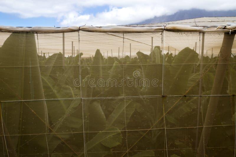 Banana behind the net. Banana plantation at El Golfo Valley, El Hierro, Spain stock photos