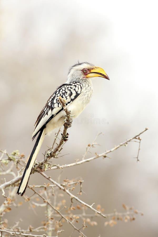 Download Banana Bird stock photo. Image of southern, africa, wildlife - 28673482