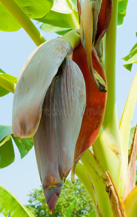 Banana blossom. On tree in the garden royalty free stock images