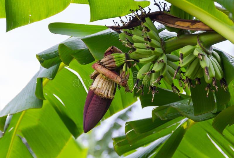 Banana blossom and bunch of bananas stock photos