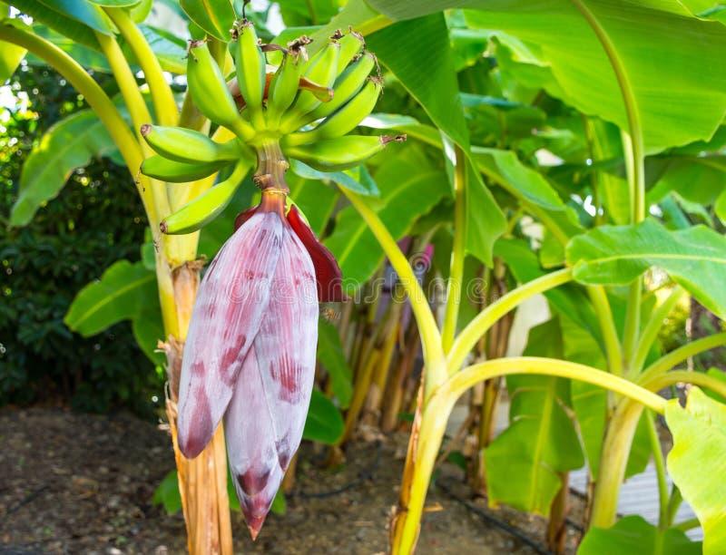 Banana blossom and bunch of green banana royalty free stock images