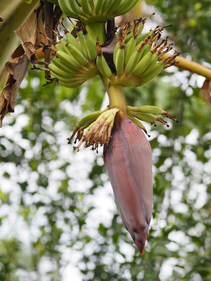 Banana blossom, flower bud end of a flowering banana stalk used as a vegetable plant in nature background. Closeup banana blossom, flower bud end of a flowering stock image