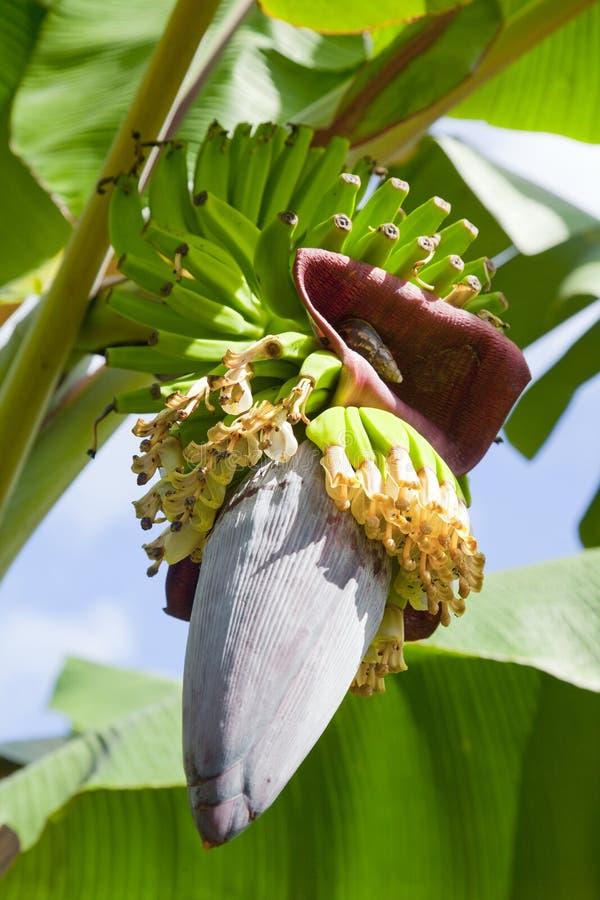 Download Banana blossom and fruits stock photo. Image of botany - 39503162