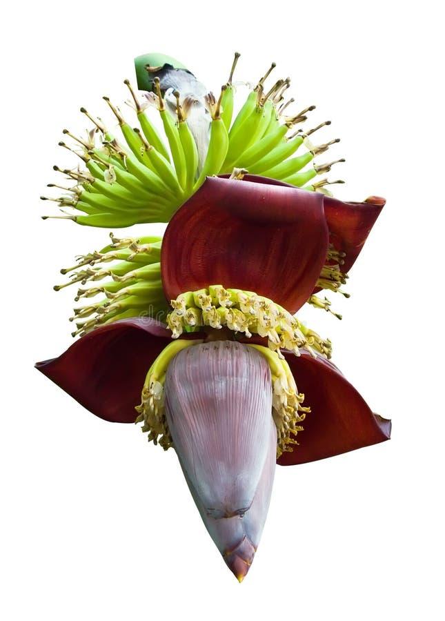 Download Banana blossom on white stock image. Image of botanic - 23293653