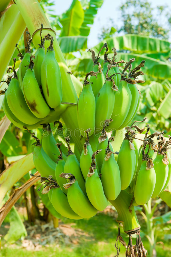 Banana bunch on tree. In the garden at Thailand stock images