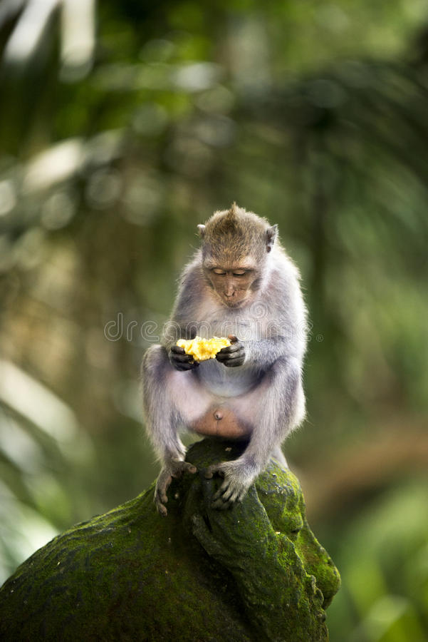 Banana che mangia scimmia immagini stock libere da diritti
