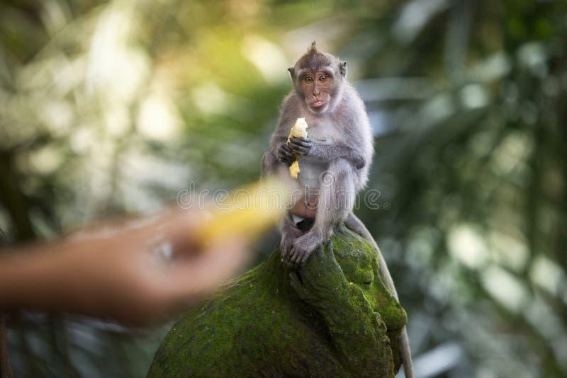 Banana che mangia scimmia immagine stock