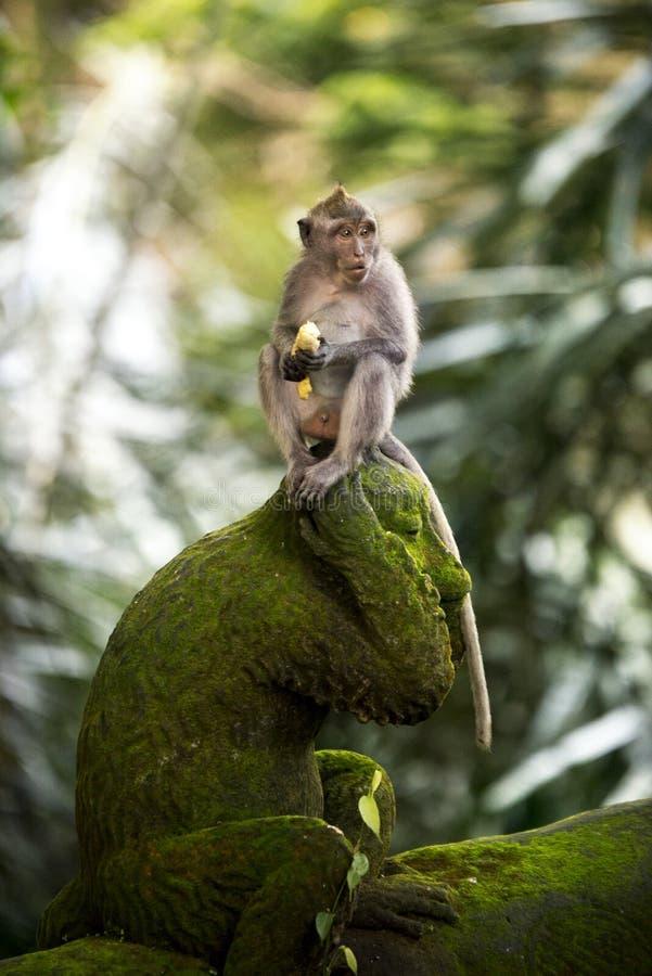 Banana che mangia scimmia fotografia stock libera da diritti