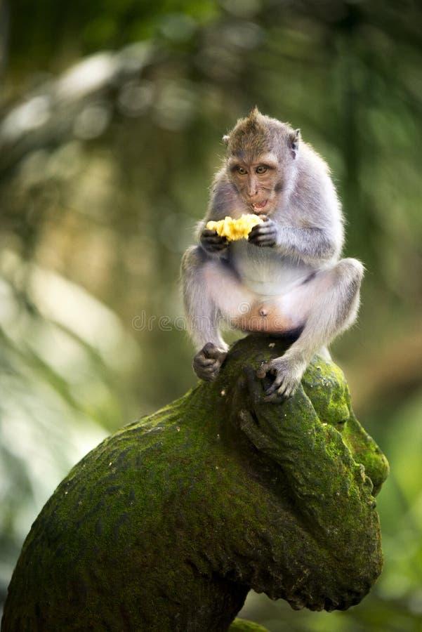 Banana che mangia scimmia fotografie stock libere da diritti