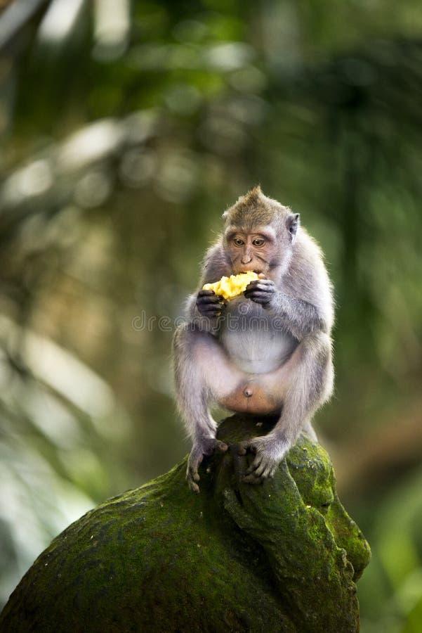 Banana che mangia scimmia immagine stock libera da diritti