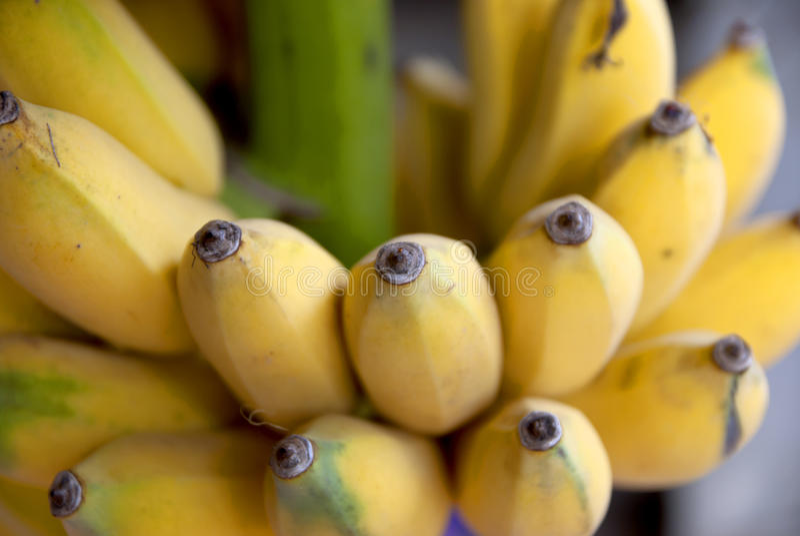 Banana coltivata nel tThailand fotografia stock