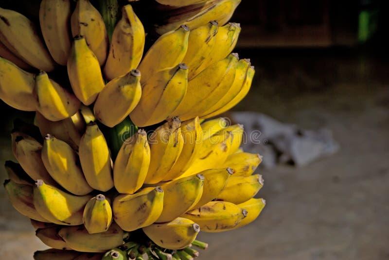 Banana coltivata in Tailandia fotografie stock libere da diritti