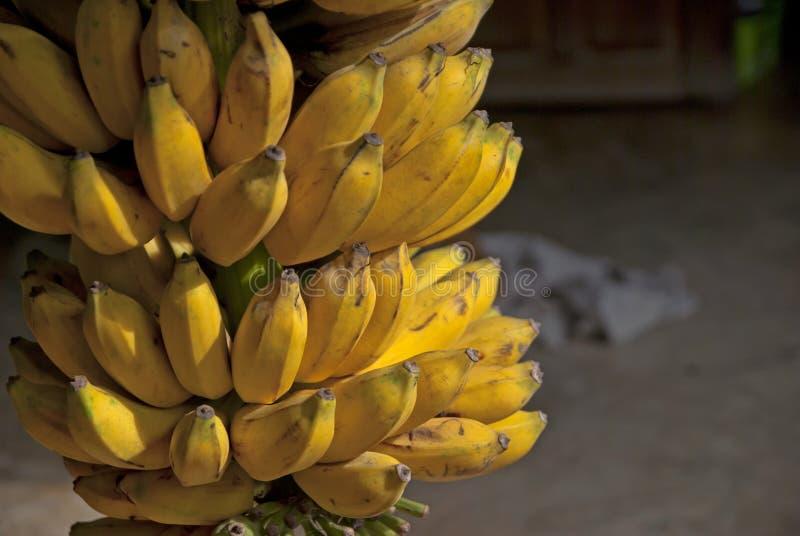 Banana coltivata in Tailandia fotografia stock libera da diritti
