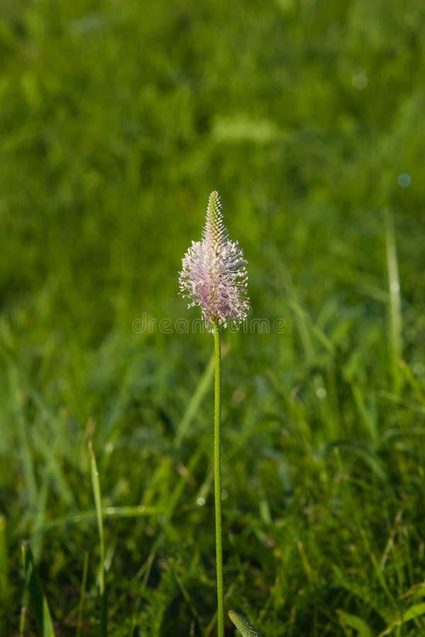 Banana-da-terra grisalho, meio do Plantago, flor na erva daninha, macro, foco seletivo, DOF raso foto de stock