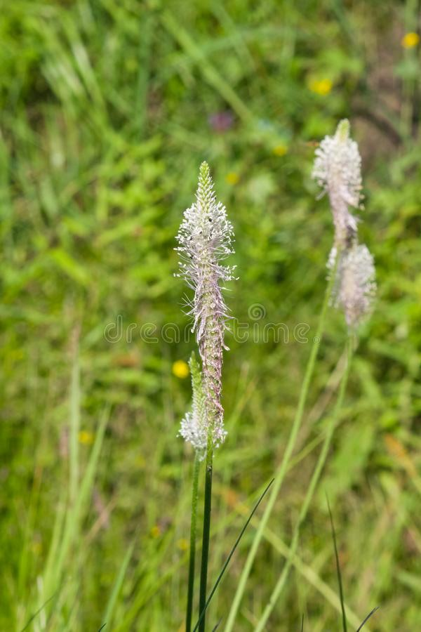 Banana-da-terra grisalho, meio do Plantago, flor na erva daninha, macro, foco seletivo, DOF raso fotografia de stock