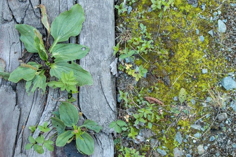 Banana-da-terra grisalho que cresce em dorminhocos de madeira velhos foto de stock