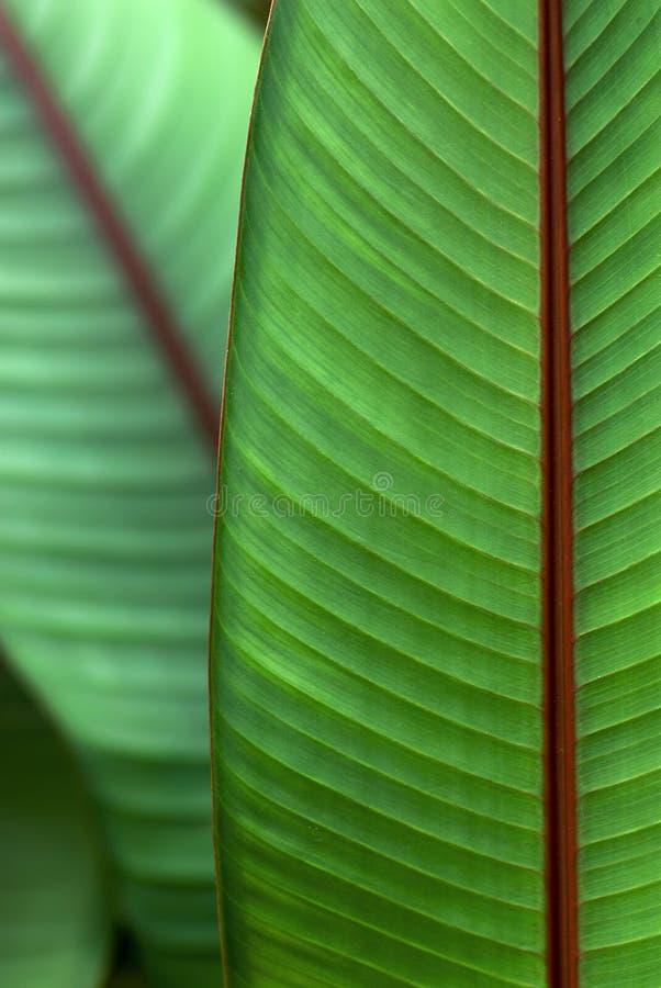 Banana do sangue da planta decorativa foto de stock