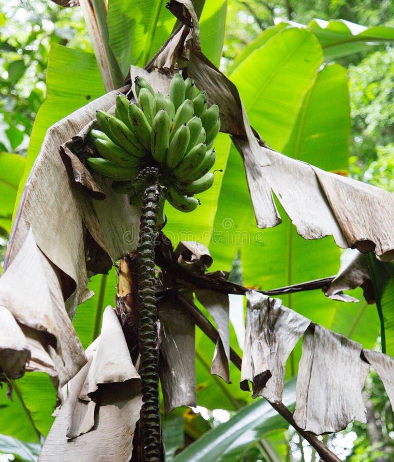 Banana drzewo gotowy dla żniwa zdjęcia royalty free