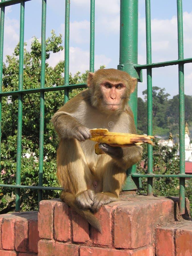 banana eating monkey royaltyfri fotografi