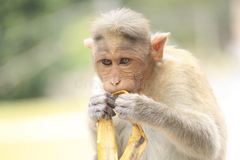 Banana eating monkey stock photo