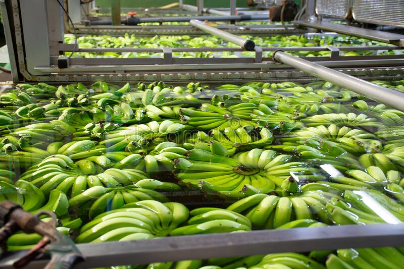 Banana factory on La Palma, Canary islands, Spain, once harvested, big bananas bunches.transported to packing sheds.for inspection. Banana factory on La Palma stock photography