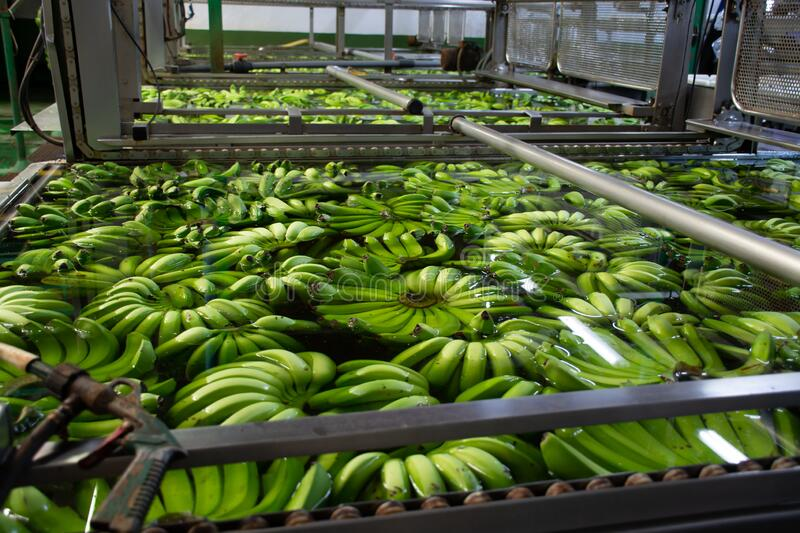 Banana factory on La Palma, Canary islands, Spain, once harvested, big bananas bunches.transported to packing sheds.for inspection. Banana factory on La Palma royalty free stock photos