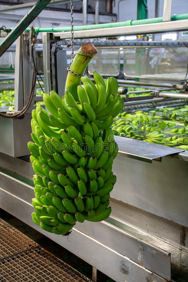 Banana factory on La Palma, Canary islands, Spain, once harvested, big bananas bunches.transported to packing sheds.for inspection. Banana factory on La Palma royalty free stock image