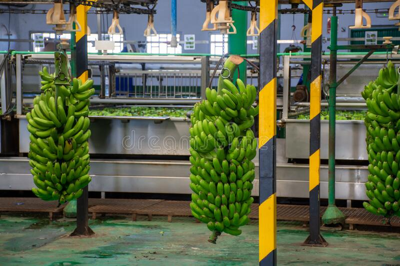 Banana factory on La Palma, Canary islands, Spain, once harvested, big bananas bunches.transported to packing sheds.for inspection. Banana factory on La Palma royalty free stock photo