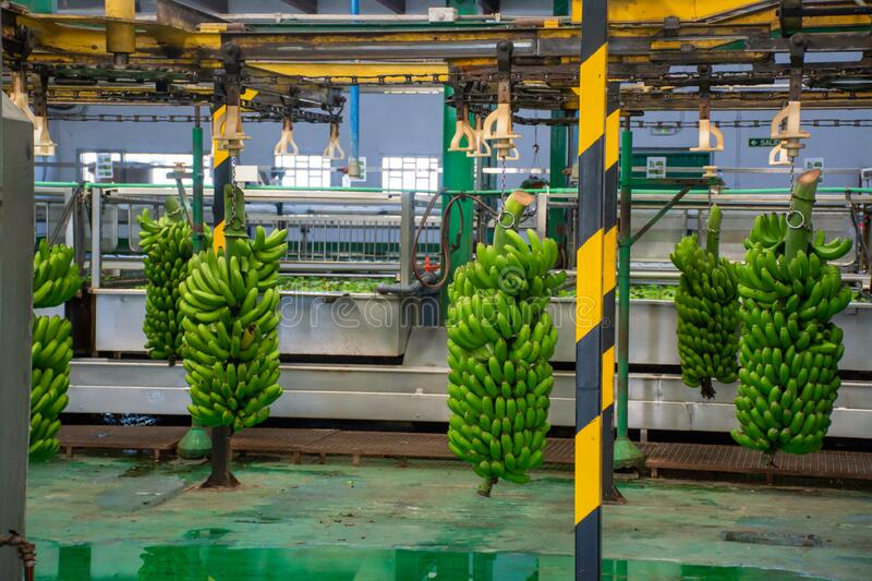 Banana factory on La Palma, Canary islands, Spain, once harvested, big bananas bunches.transported to packing sheds.for inspection. Banana factory on La Palma stock images