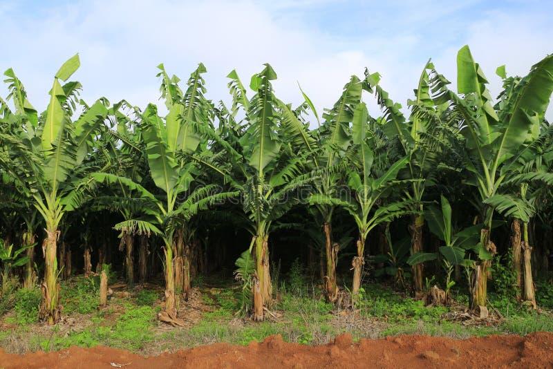 Banana farm stock photos