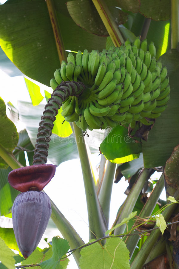 Banana in flower stock photo