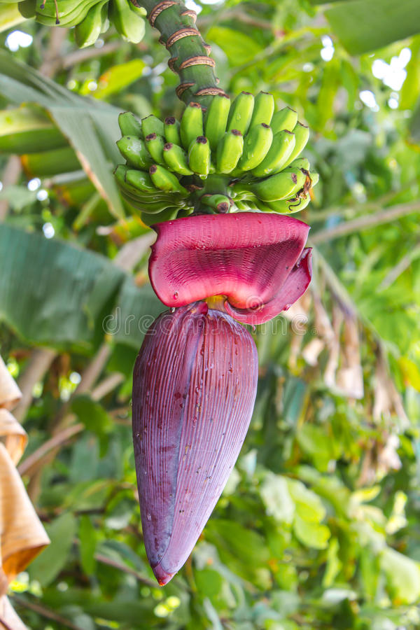 Download The Banana Flower stock image. Image of asia, color, growth - 83713233