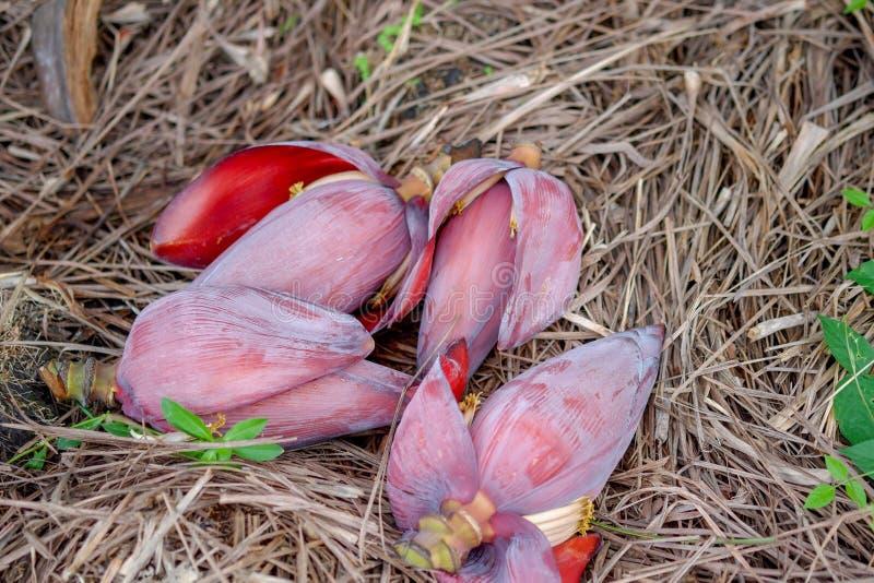 Banana flower / blossom banana stock photo