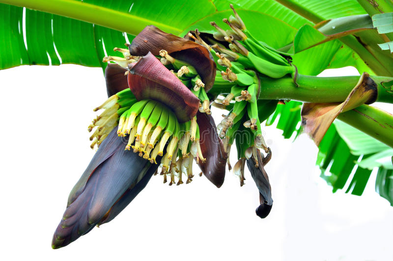 Banana Flower. And bunch in Agriculture and plantation on white background stock images