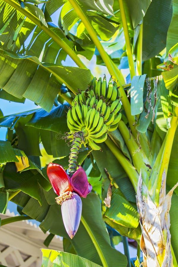 Banana flower and bunch of bananas. Red banana blossom on a banana tree. Banana plant with fruit and flower royalty free stock image